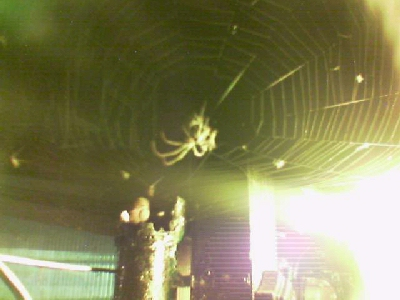 'Boris' the spider getting his dinner